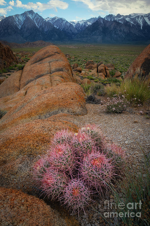 Sunrise Photograph - Pink Barrel Cacti  by Michael Ver Sprill