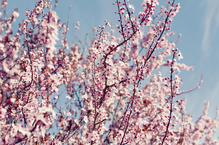 Outdoors Photograph - Pink Blossom by Bonita Cooke