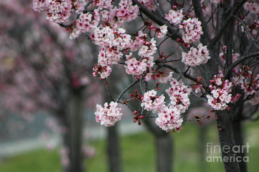 Misty Photograph - Pink Blossoms in Foreground at Reagan Library 2 by Colleen Cornelius