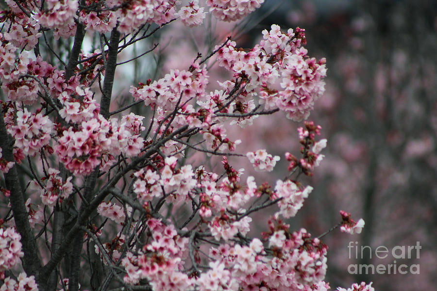 Misty Photograph - Pink Blossoms in Foreground at Reagan Library 3 by Colleen Cornelius