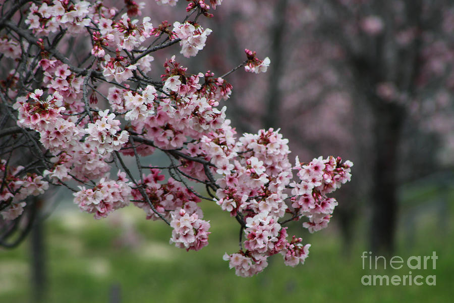 Misty Photograph - Pink Blossoms in Foreground at Reagan Library by Colleen Cornelius