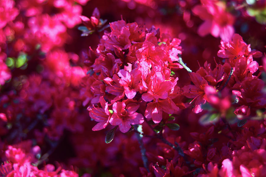 Background Photograph - Pink Blossoms by Lukas Kerbs