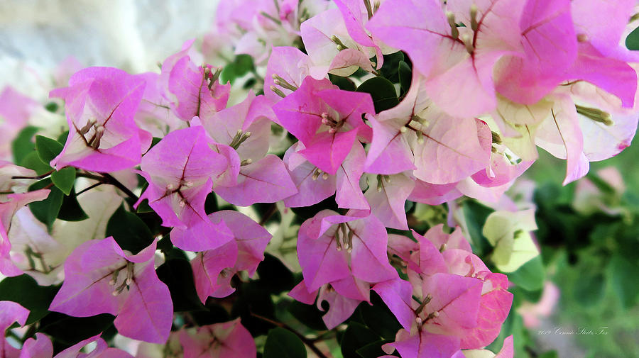 Pink Bougainvillea by Connie Fox