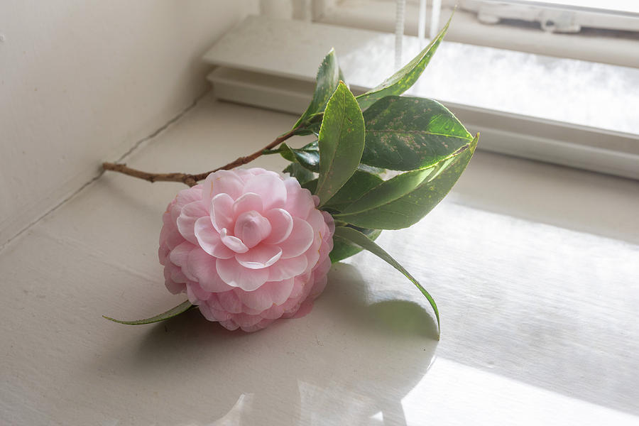 Beauty Photograph - Pink camellia by the window by Natalie Board