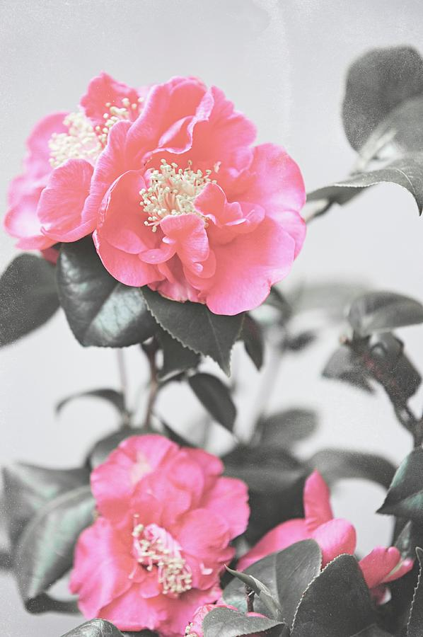 Camellia Photograph - Pink Camellia. Shabby Chic Collection by Jenny Rainbow