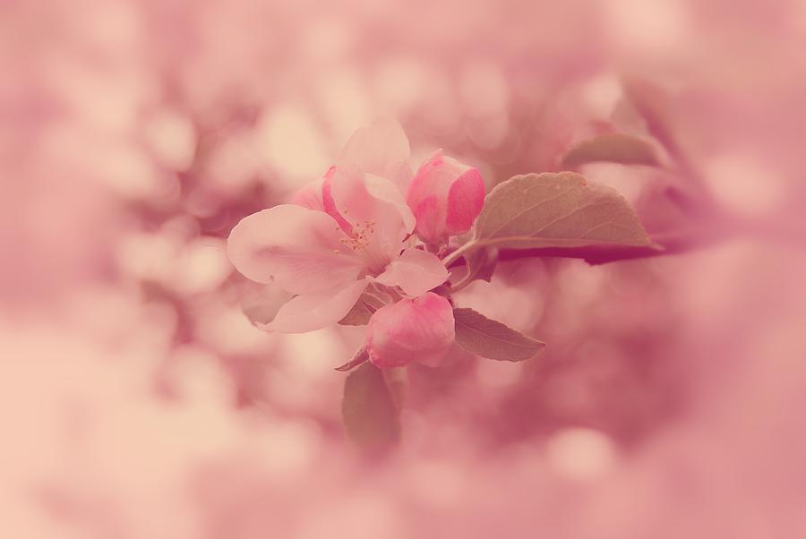 Pink Cherry Blossom by Angie Tirado