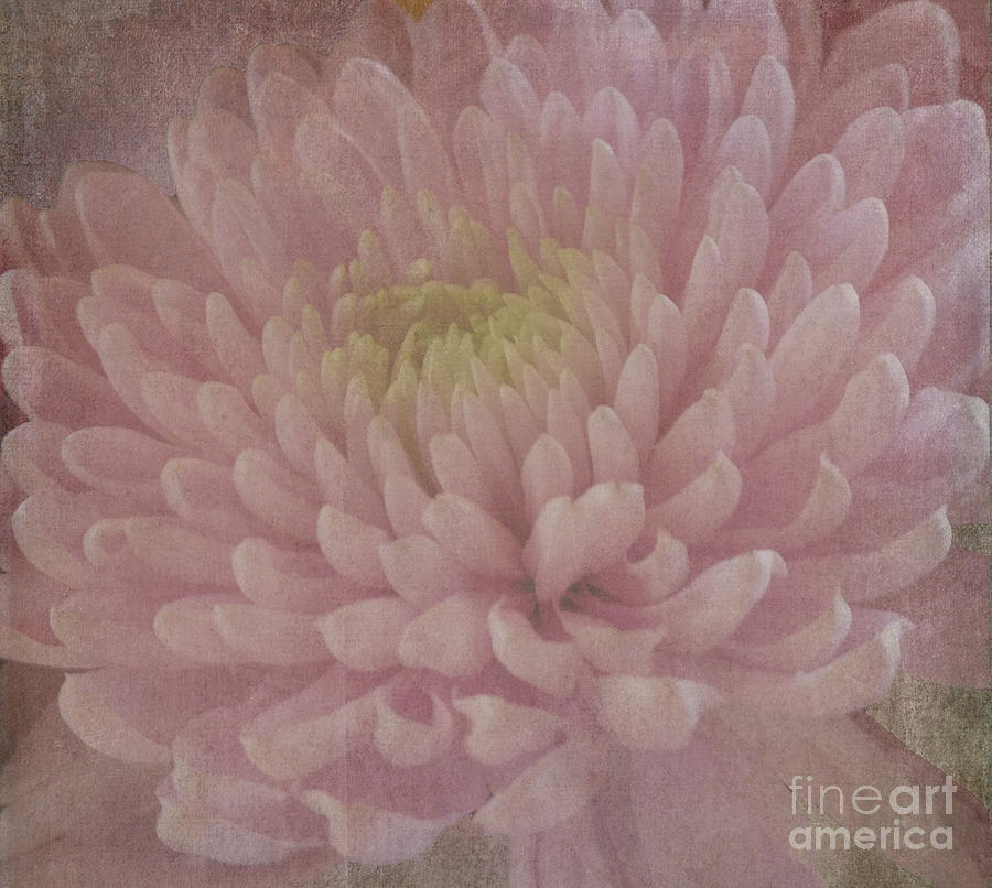Pink Chrysanthemum Photograph