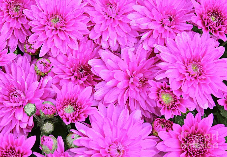 Pink Chrysanthemum Photoart Photograph