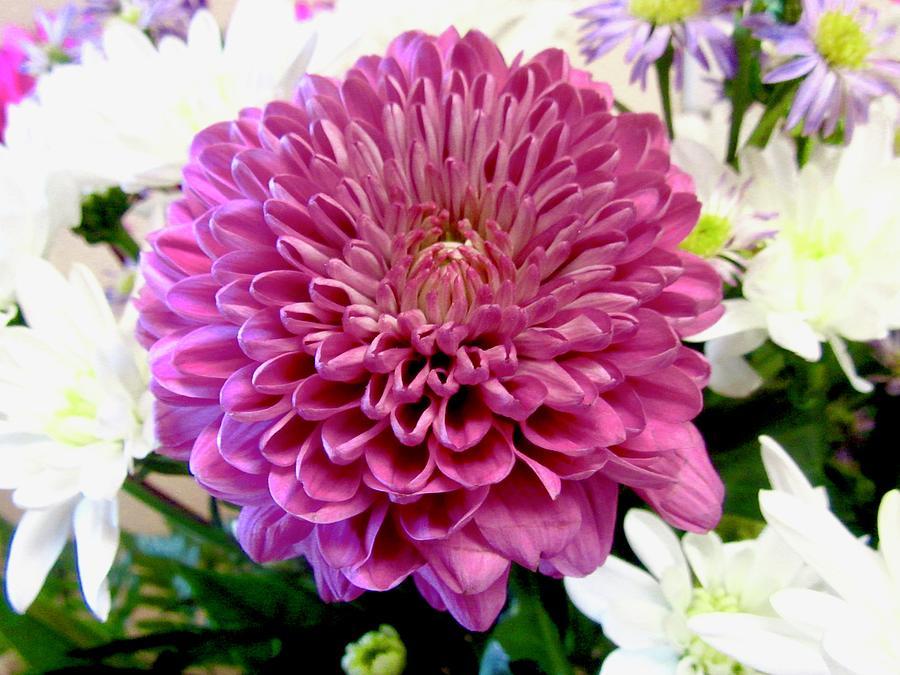 Pink Chrysanthemum by Stephanie Moore
