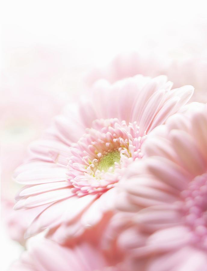 Pink Chrysanthemum Photograph by Stuart Minzey