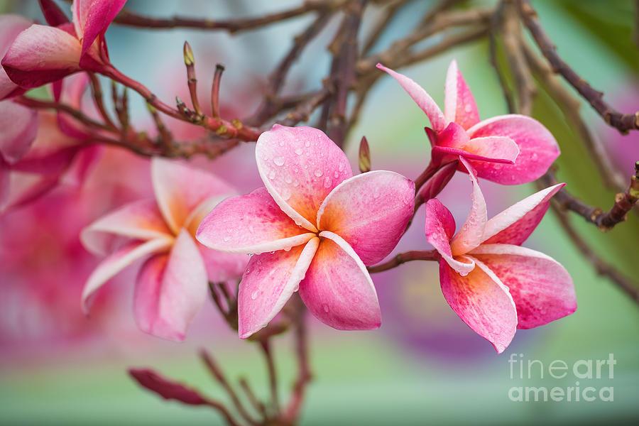Romance Photograph - Pink Color Frangipani Flower Beauty by Focusstocker