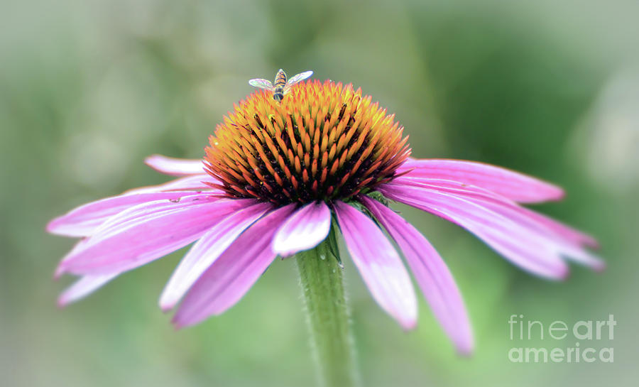 Pink Coneflower and Visitor by Kerri Farley