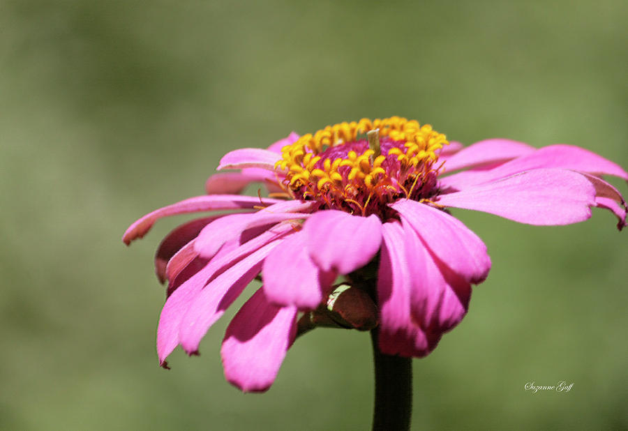 Pink Coneflower in Pastel by Suzanne Gaff
