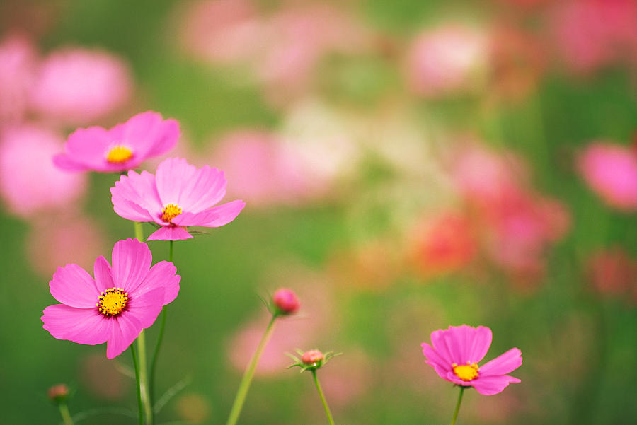 Pink Cosmos Flower By Ooyoo