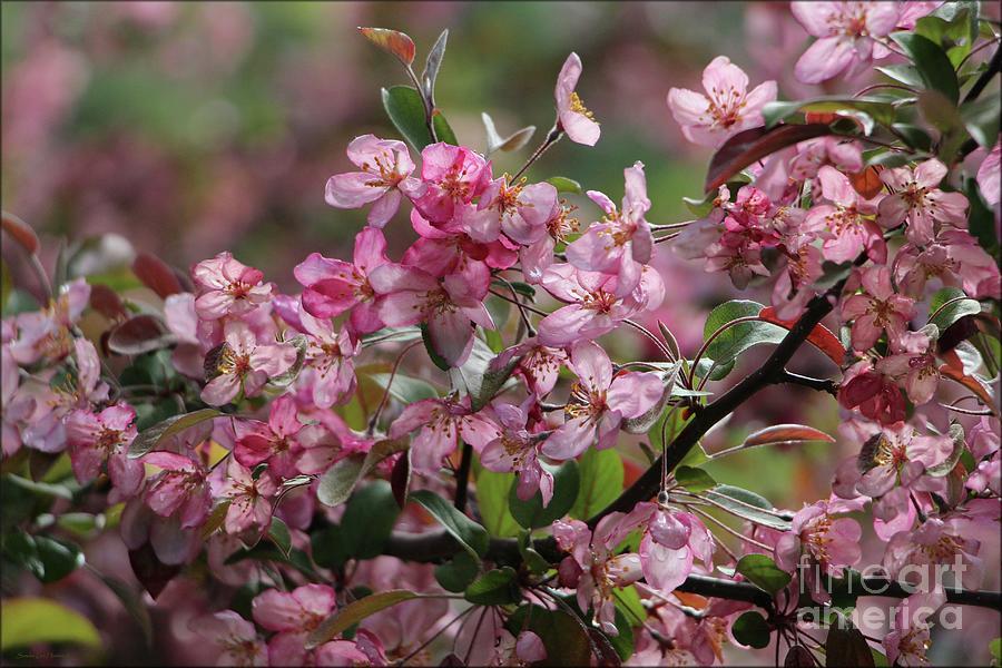 Pink Crab Apple Blossom's by Sandra Huston