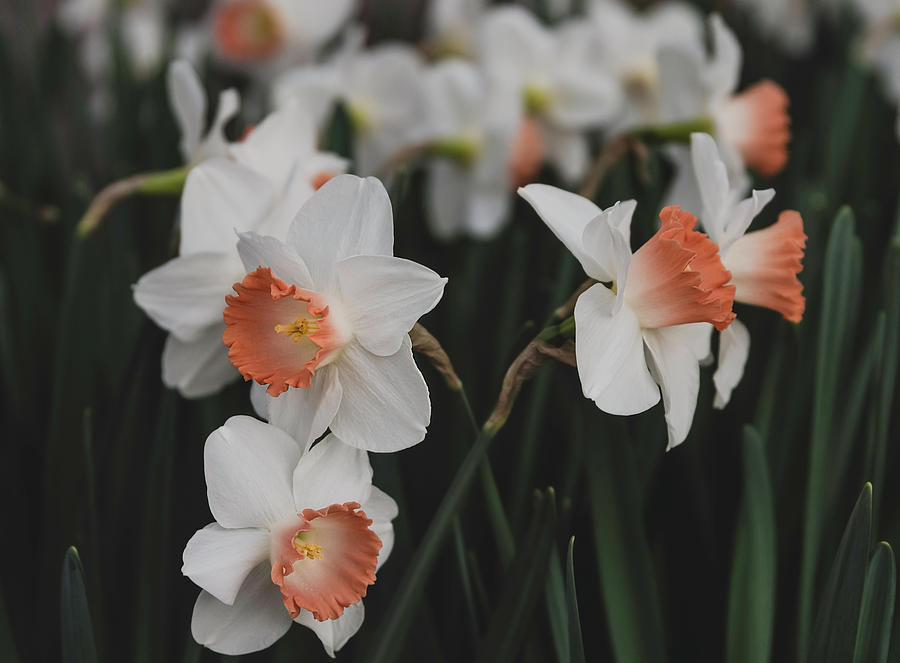 Pink Cup Daffodils by Keith Smith