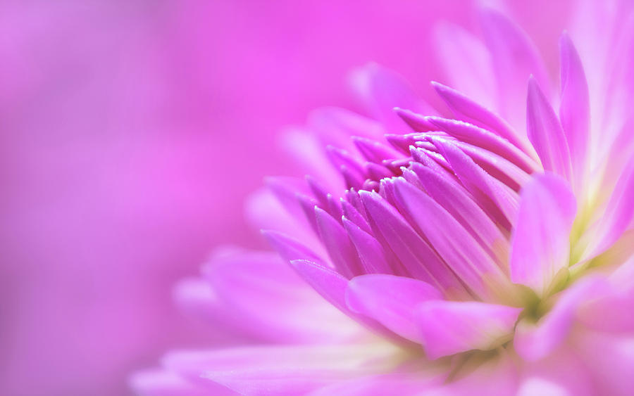 Pink Dahlia Dreams by Mary Jo Allen