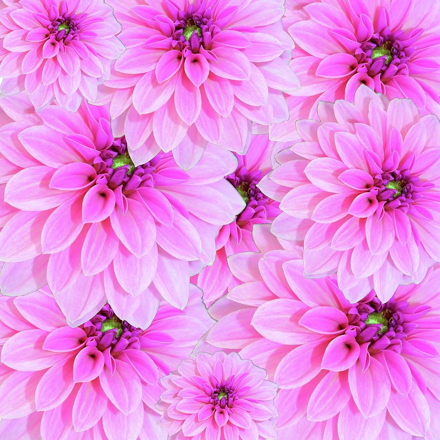 Pink Dahlia Flower Design Photograph