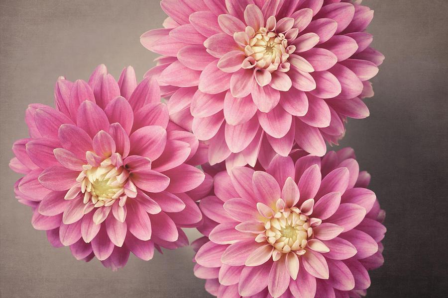 Pink Dahlias No. 51 by Allison Trentelman