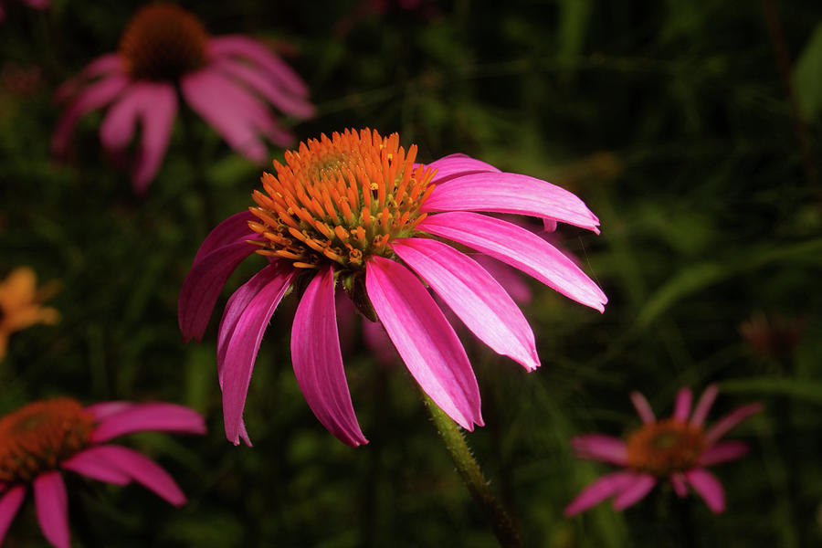 Pink Daisy at Midday by Eugene Campbell
