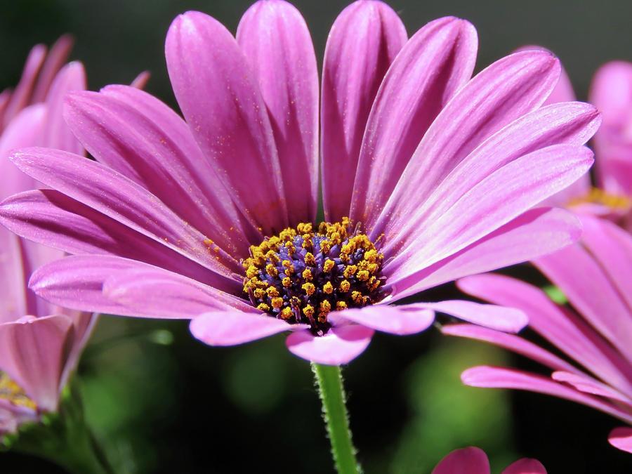 Pink Daisy In Full Bloom by Johanna Hurmerinta