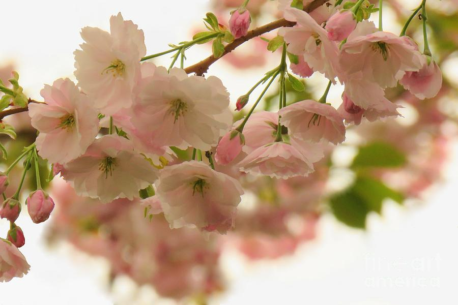 Blossom delight by Frank Townsley