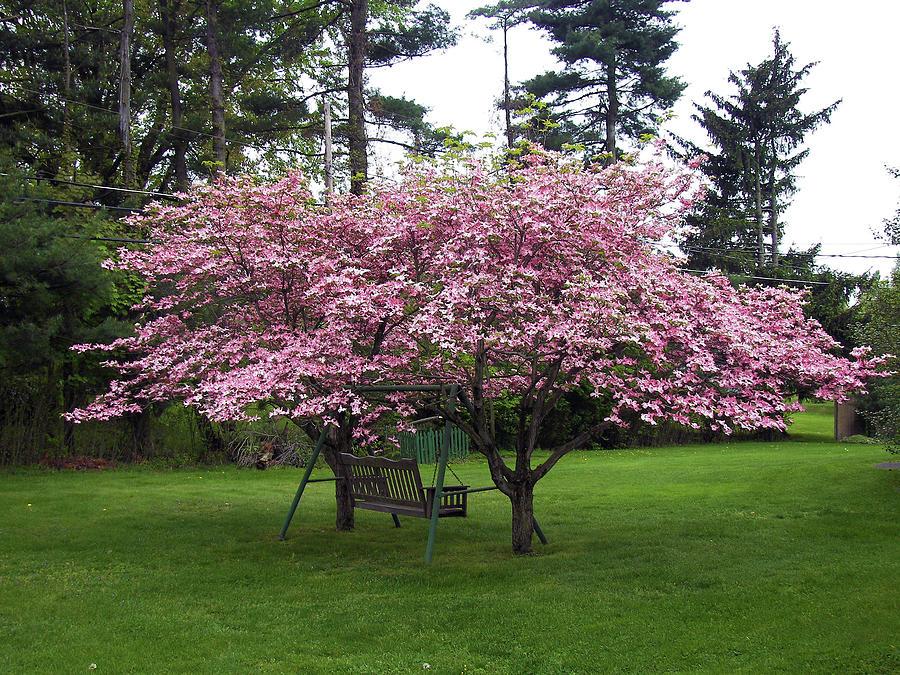Pink Dogwood Tree Photograph By Toni Leland