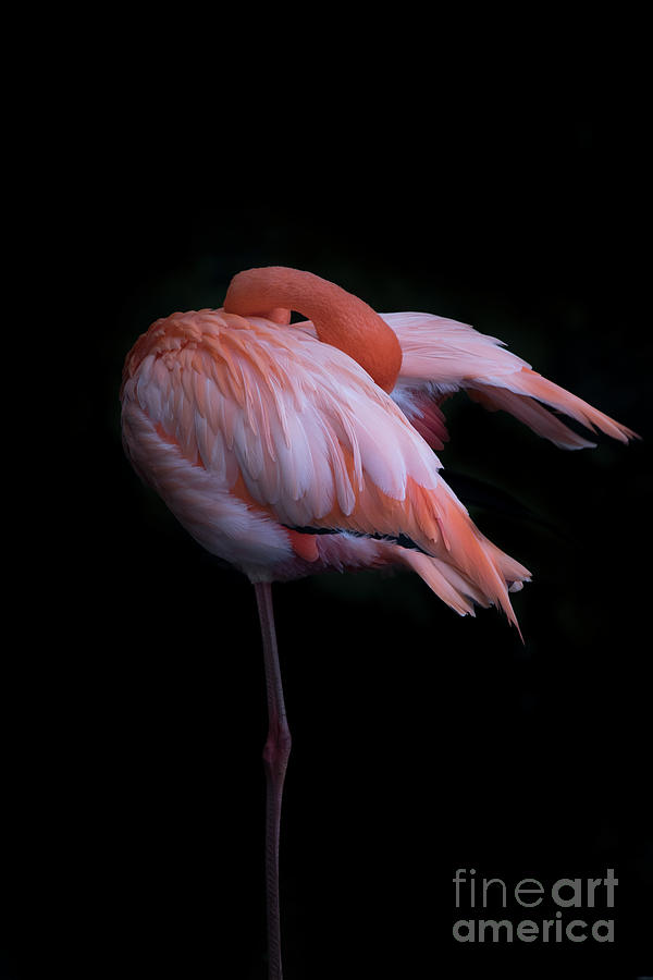 Pink Flamingo Standing On One Leg Photograph by Westend61