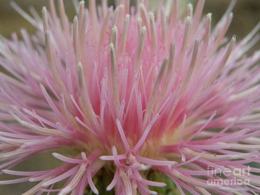 Pink flower blossom on a wildflower weed by Christy Garavetto