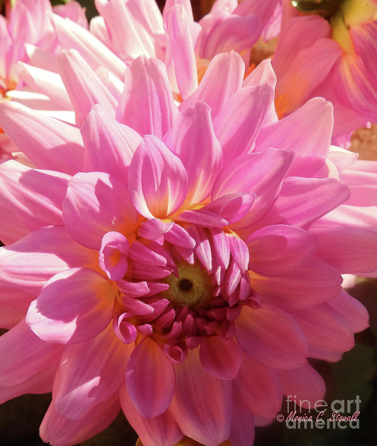 Pink Flower No. 31 by Monica C Stovall