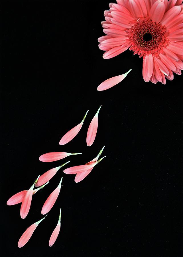Pink Flower With Petals Photograph by Photo By Bhaskar Dutta