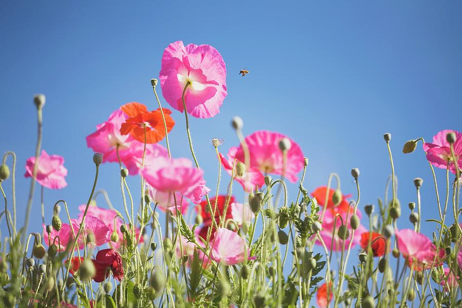 Pink Flowers Against Blue Sky Photograph by Design Pics/craig Tuttle
