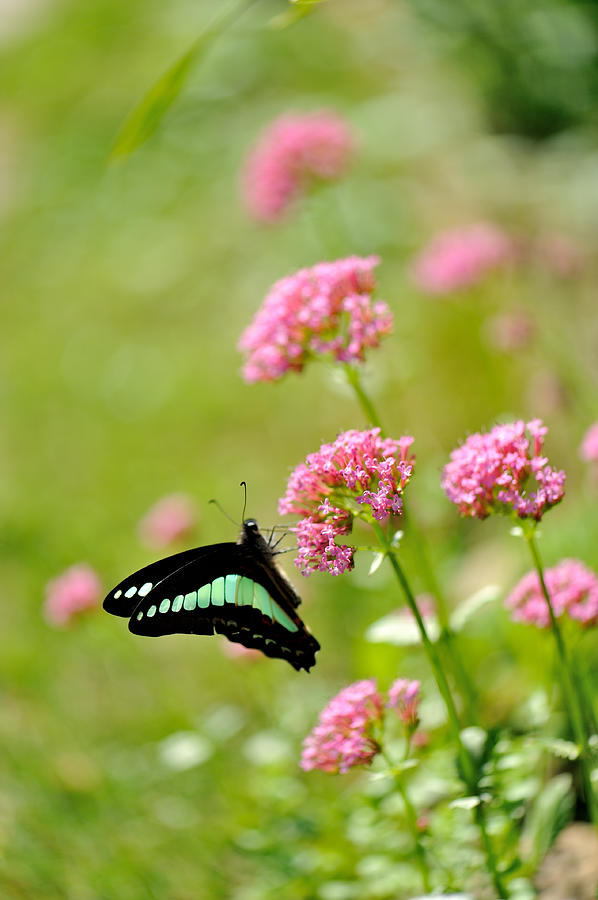 Pink Flowers Photograph by Myu-myu