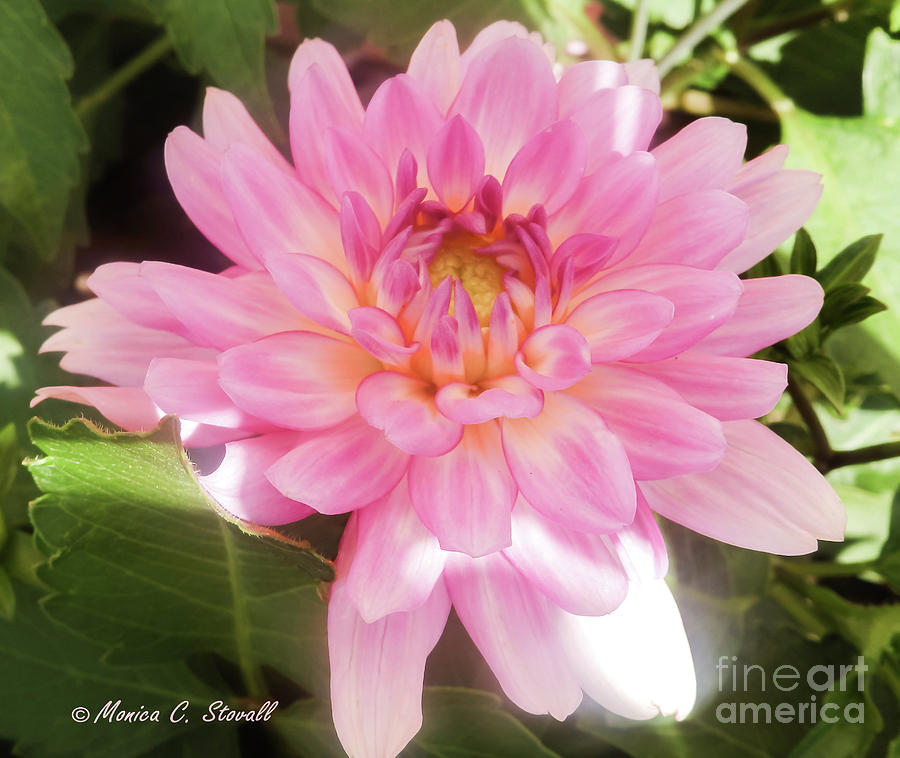 Pink Flowers No. 37 by Monica C Stovall