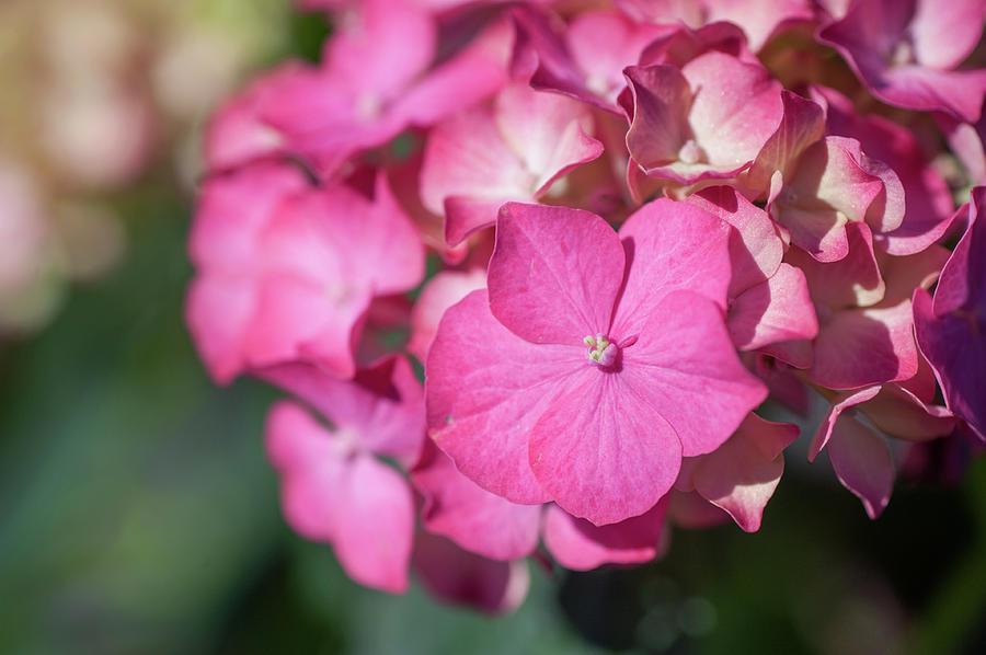 Pink French Hydrangea  by Jenny Rainbow