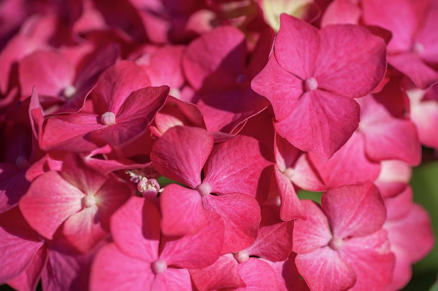Pink French Hydrangea Macro 1 by Jenny Rainbow