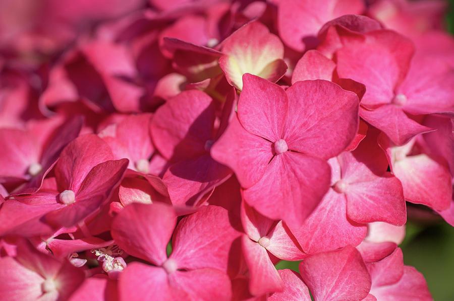 Pink French Hydrangea Macro by Jenny Rainbow
