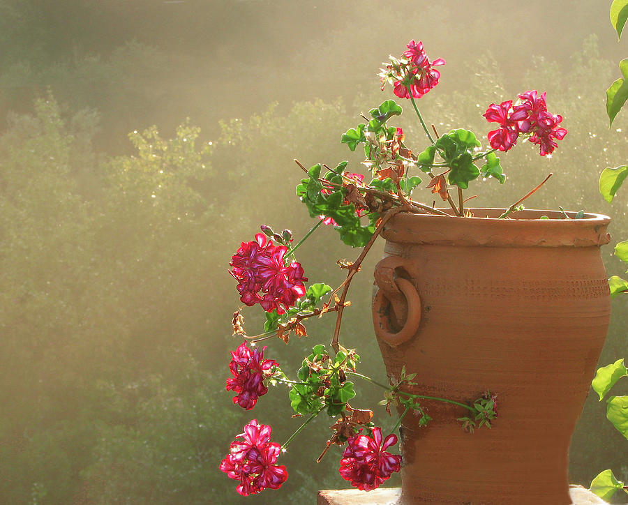 Pink Geranium In Pot With Sun And Mist Photograph by Melinda Moore