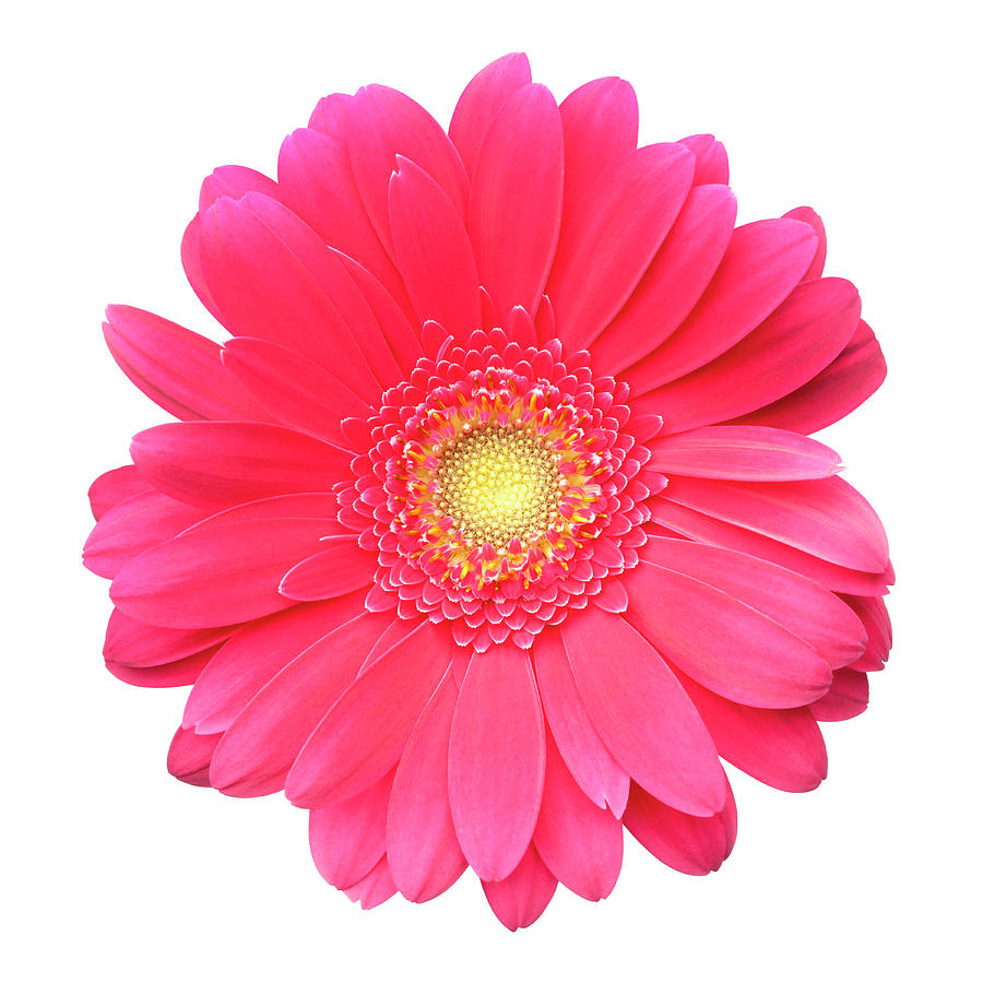 Pink Gerbera Daisy Isolated On White Photograph by Jill Fromer