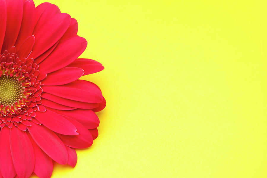 Pink Gerbera Daisy On Yellow Background Photograph by Jill Fromer