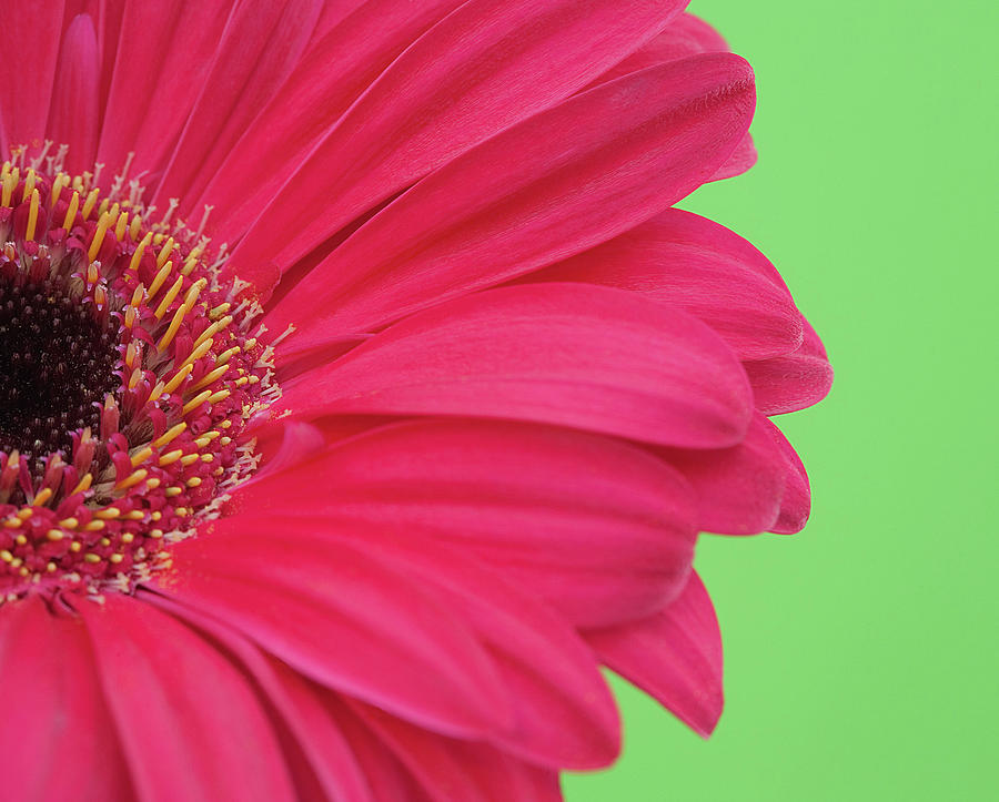 Pink Gerbera Photograph by Kim Haddon Photography