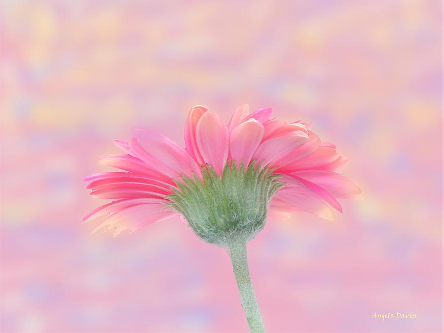 Pink Gerbera Sunrise by Angela Davies