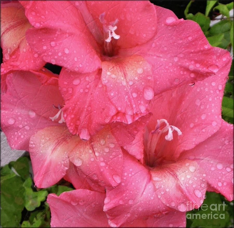 Pink Gladiolus After A Shower by Sandra Huston