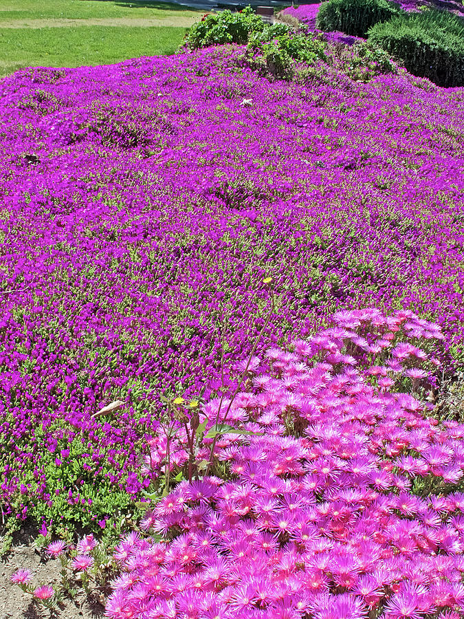 Pink Grounds at Saint Lukes Lutheran Church in Claremont, California by Ruth Hager