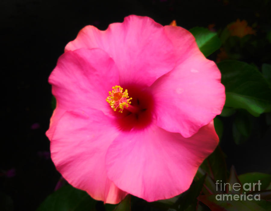 Pink Hibiscus Dream by Robert Knight