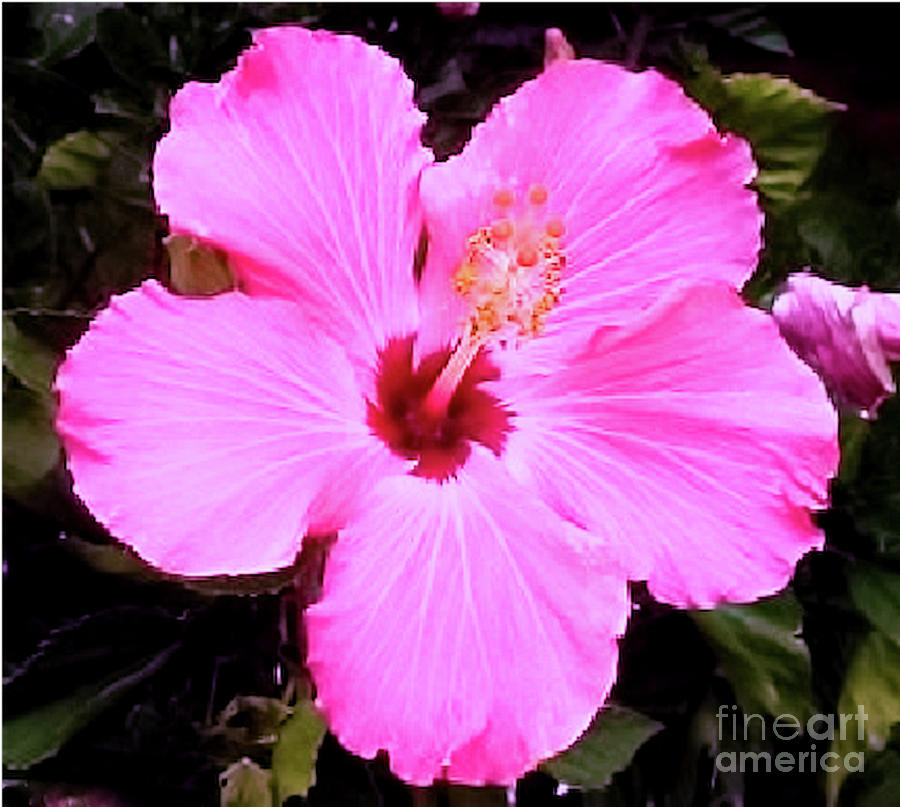 Pink Hibiscus by James Fannin
