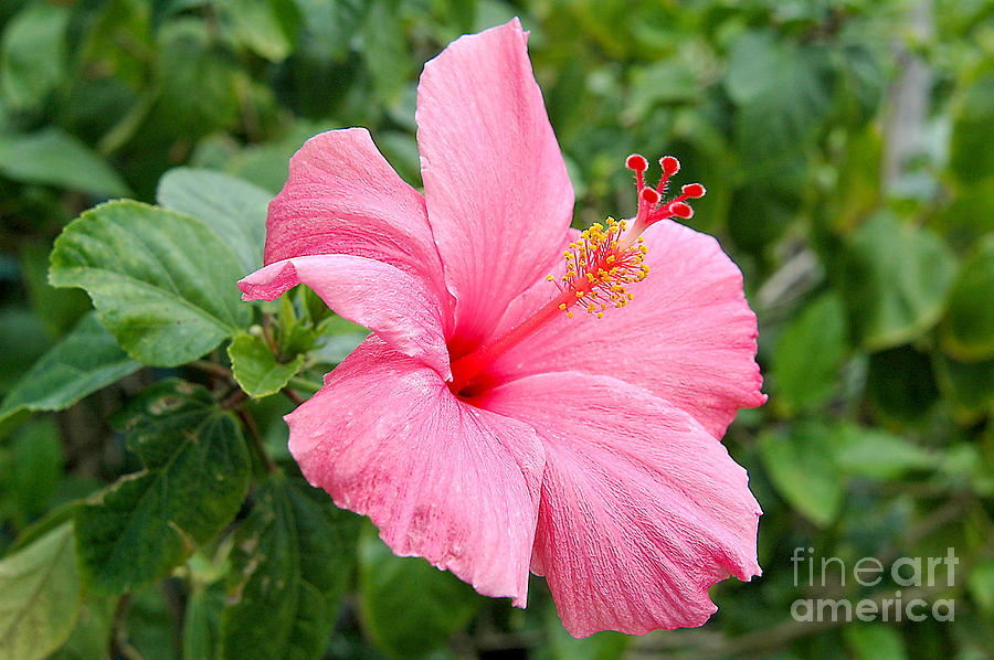 Pink Hibiscus by Steve Edwards