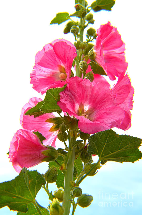 Pink Hollyhocks - 1 Photograph
