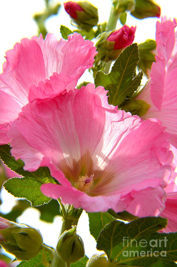 Pink Hollyhocks - 2 by Mary Deal