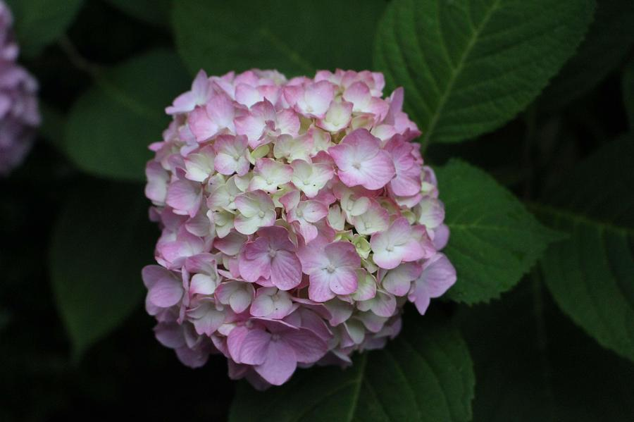 Pink Hydrangea by Christopher Lotito